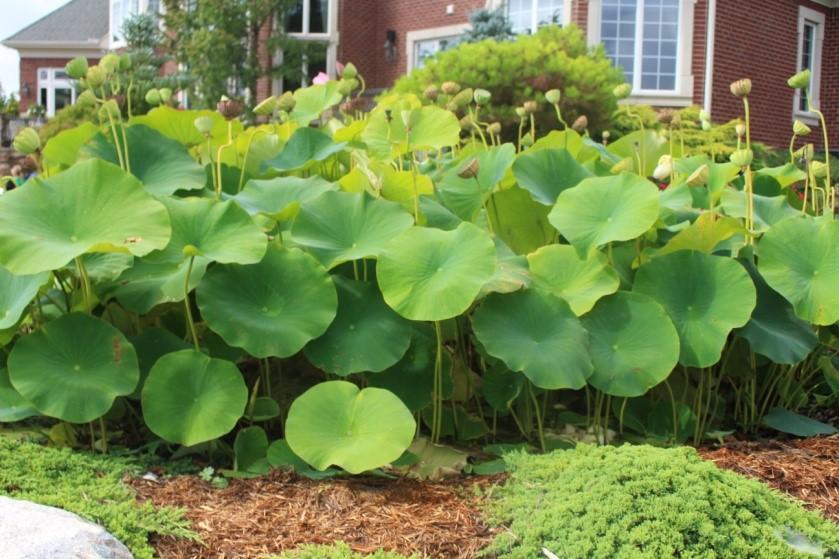 Apld michigan we define landscape design in michigan for Koi fish pond plants